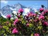 Alpenrosen auf der Bodenalm