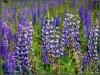 Blumenwiese am Ahorn