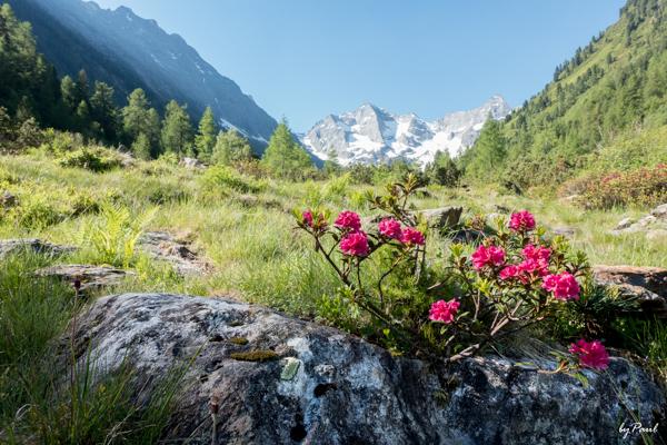 Alpenrosenblüte auf der Bodenalm